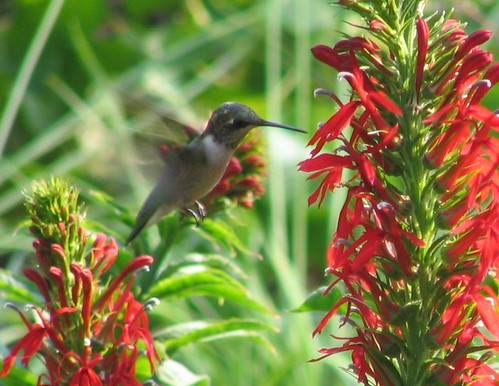 hummingbird and cardinal flower