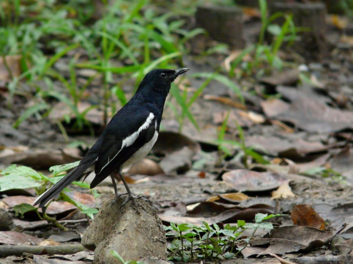 Oriental Magpie Robin (Copsychus saularis) - 鵲鴝