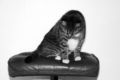 mouse? (gonny77) Tags: bw cats animal animals cat mouse blackwhite hunting curious poes hunt canoneos350ddigital