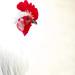 Mistaken Rooster