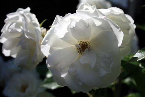 Climbing Iceberg Rose. Climbing iceberg roses 7