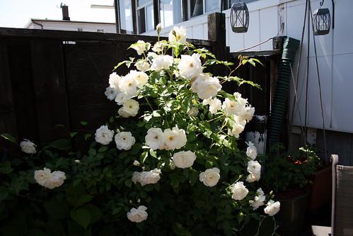 Climbing iceberg roses 9