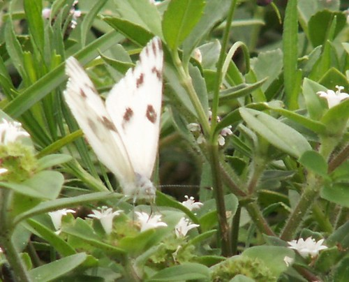 Male Checkered White Nectaring on Pusley, Front View