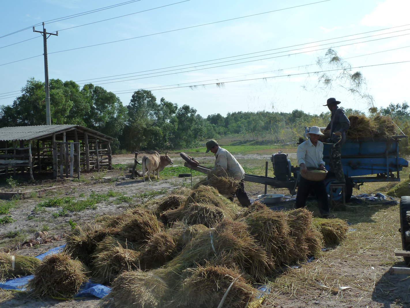 Farmers De-husking Rice in Vietnam