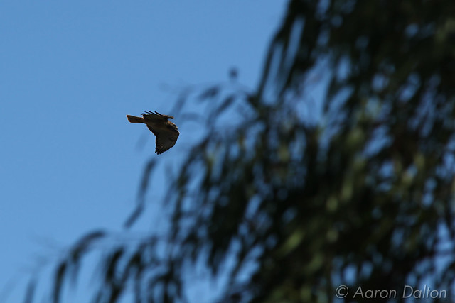 Hawk Flying Behind Eucalyptus