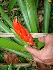 Guzmania berteroniana (tropicalgardener1) Tags: forest puerto rico guavate carite 22209