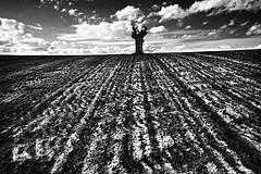 (Effe.Effe) Tags: blackandwhite bw field countryside tracks bn deadtree senigallia biancoenero lonelytree plowed 10mm cauchemar sigma1020 solchi oldschooldigital alberosolitario atthetopofthehill incimaallacollina