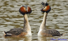 Great Crested Grebe . LOVE IS IN THE AIR. 10 (spw6156) Tags: love lens is hand air great iso 400 cropped mm 500 held crested grebe the in avianphotography copyrightstevewaterhouse