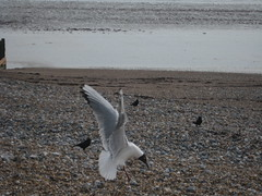 seagulls on the beach (nicgee) Tags: beach march worthing 2009