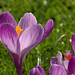 Crocus: March 12