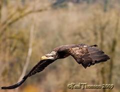 Master of the Sky (paultnature) Tags: nature animals canon wildlife eagles raptors birdsofprey ridgefieldwildliferefuge 40d slbflying baldeagleswildlife