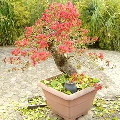 20_350 (Rock Jnior - Terra Bonsai) Tags: primavera bougainvillea bonsai