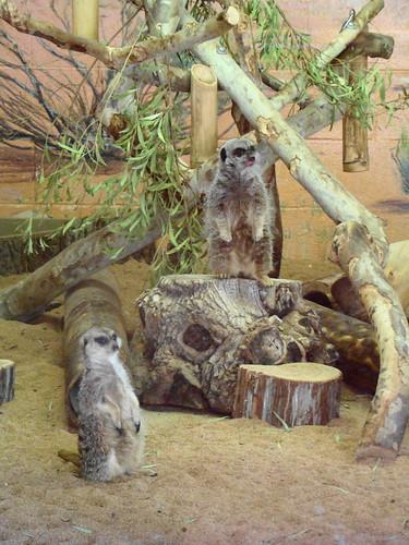 Meerkats at the Los Angeles Zoo