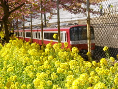 spring train (hamapenguin) Tags: flower nature yellow japan train spring  kanagawa miura rapeblossom      celerycabbage