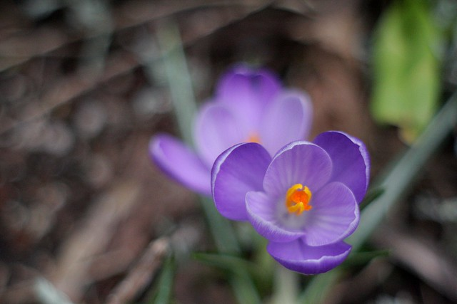 crocus, march '09