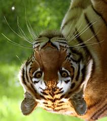 tiger (mattkruciak) Tags: animal bengaltiger