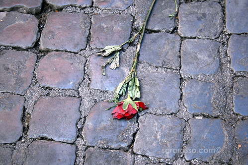 A smashed rose from the evening before, Trastevere, Rome