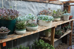 Succulents in the Greenhouse (Calaveras KT) Tags: containergardening hugyourcacti lifeonthebalcony