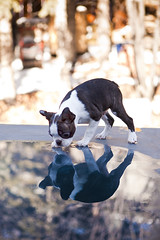 Tommy Two Tone (Back in the Pack) Tags: two dog reflection calgary dogs water puppy puddle bostonterrier outdoors mirror backyard looking outdoor tommy 5d staring tone inspecting dogdaycare tutone 2470mmf28l wwwdogdaycareca 5dmarkii wwwbackinthepackca albertabarks