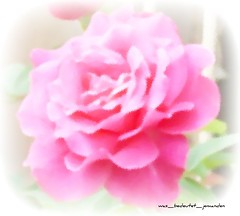 Another beautiful rose pic (photoshopped)
