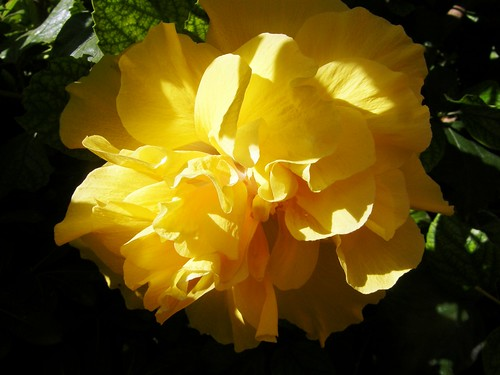 ibiscus amarillo 1