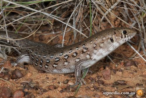 Leopard ctenotus (Ctenotus pantherinus)