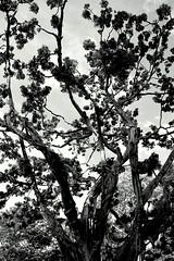 As rvores so fceis de achar... (Fabiana Velso) Tags: folhas pb tronco rvore galhos pretoebranco copa arnaldoantunes fabianavelso