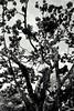 As árvores são fáceis de achar... (Fabiana Velôso) Tags: folhas pb tronco árvore galhos pretoebranco copa arnaldoantunes fabianavelôso