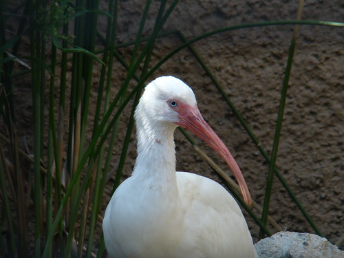 American White Ibis at the Los Angeles Zoo