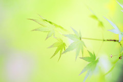 serenity (Lee_Bryan) Tags: green leaves maple shanghai bokeh hggt paris0913apr