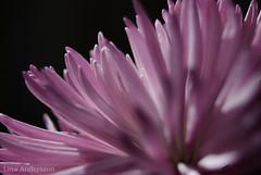 Purple flower close up (Laijnloo) Tags: morning black flower closeup spring close purple near lila 70300mm backround nikond80