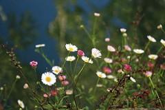 florinhas da beira rio (Joao Antunes) Tags: macro rio canon dof tomar flôr nabão abigfave canoneos450d goldenheartaward