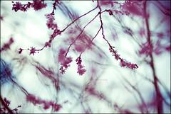 Fragile Dancer (SachieNagasawa) Tags: 15fav plant flower nature fleur plante season 50mm spring nikon bokeh cherryblossom sakura printemps vegetal cerisier sachie saison aphotoaday nagasawa d80 365project somewhair hantenshi lifypoem