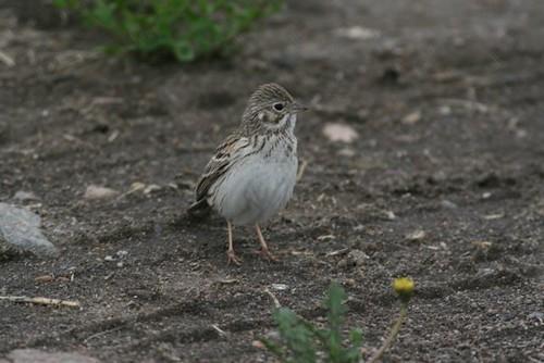 vespersparrow