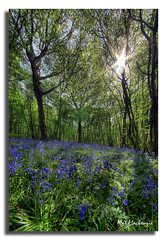 Tranquility, by Mat (Mat Mackenzie) Tags: trees panorama nature outdoors kent woods reserve showcase bluebell hdr blackthorn shepway stockshill vertorama aldingtin sflandscapes