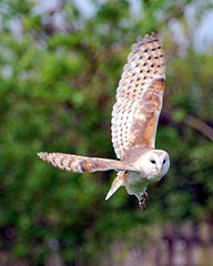 barn owl flight (sure2talk) Tags: bird flight explore barnowl nikond60 hawkconservancy april2009 beautifulworldchallenges vosplusbellesphotos parlourfiftyone nikkor70300mmf4556afsifedvr