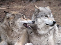 Grey Wolves (Micky**) Tags: nature beautiful minnesota animals wolf searchthebest teeth canine explore fangs predator mn wolves elymn internationalwolfcenter interestingness134 whohoo greaywolf