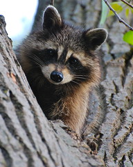 bandit in a tree (wplynn) Tags: animal mammal raccoon