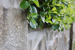 Overflow (laurenhuff) Tags: stone wall hedges