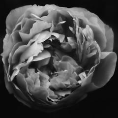 Peony (genflag) Tags: blackandwhite flower macro olympus peony teleconverter evolt e500 fauxinfrared 28mmom