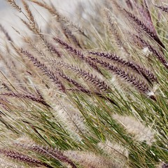 Fountain Grass (jver64) Tags: california usa pacificcoasthighway