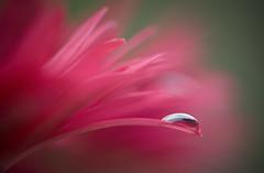 Gerbera tears... DSC_9460 (Margiebean) Tags: pink flower petals bokeh gerberadaisy nikond80 youvsthebest micro105vr nikond80challenge awesomeblossoms thechallengefactoryunanimouswinner artistictreasurechest thepinnaclehof megagrindwinner