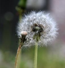dandelions 1 (a.rud.beth) Tags: macro dandelion lwenzahn pusteblume