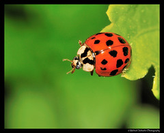 Ladybug (Micha67) Tags: red usa black macro green nature leaves bug insect michael spring backyard nikon michigan micha micro ladybug dots 2009 schaefer d300 macromarvels alemdagqualityonlyclub