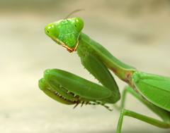 """Praying Mantis • <a style=""""font-size:0.8em;"""" href=""""http://www.flickr.com/photos/41711332@N00/3565376305/"""" target=""""_blank"""">View on Flickr</a>"""