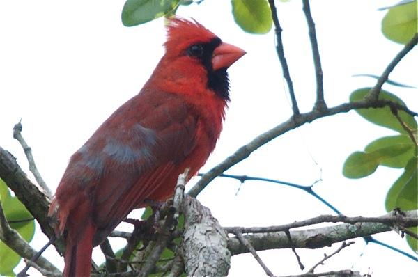 cardinal_profile_0103