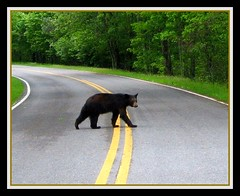 """One Moment Please"" (cscott_va.) Tags: virginia wildlife blackbear skylinedrive shenandoahnationalpark"