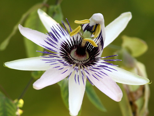 Passionflower 20090530