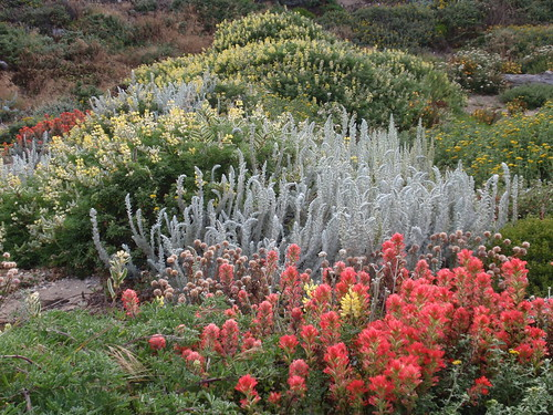 Paintbrush Buckwheat Lupine