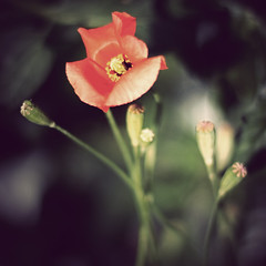 (helle-belle) Tags: sommer greenhouse poppy allotment 2009 drivhus kolding detaljer valmue kolonihave eos400d